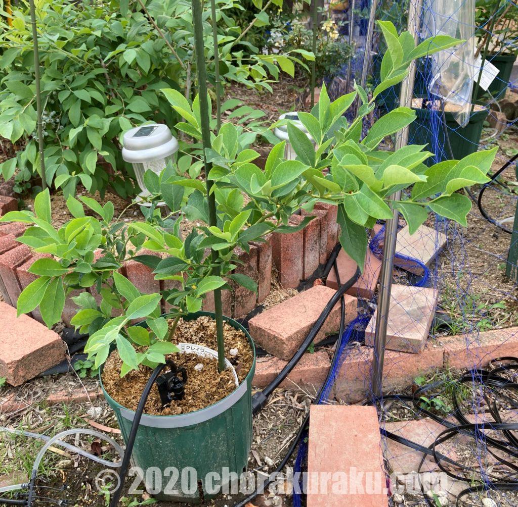 2020年5月30日に7号スリット鉢の外側まで枝が成長したクレイワー